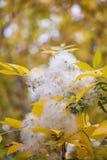 在树的白色绒毛本质上 免版税图库摄影