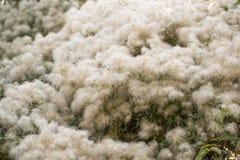 在树的白色绒毛本质上 图库摄影