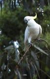 在树的白色美冠鹦鹉 图库摄影