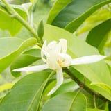 在树的白色Champaka Michelia晨曲DC 免版税库存照片