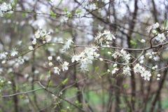 在树的白花 免版税库存照片