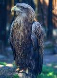 在树的白被盯梢的老鹰 库存照片