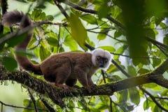 在树的白头的狐猴Eulemur albifrons 库存照片