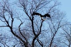 在树的白头鹰着陆 免版税库存图片