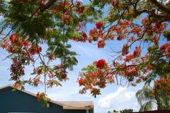 在树的皇家Poinciana开花 库存图片