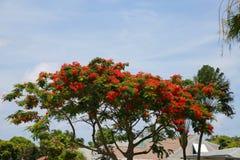 在树的皇家Poinciana开花 免版税图库摄影