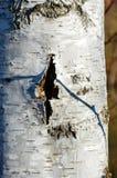 在树的皮肤的裁减看起来象受伤的桦树 免版税库存图片