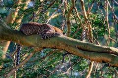 在树的睡觉豹子 免版税图库摄影