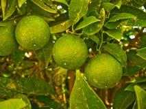 在树的石灰果子 免版税库存照片