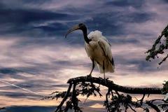 在树的神圣的朱鹭鸟 免版税图库摄影