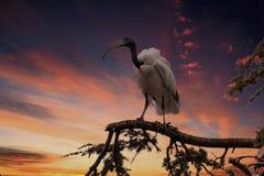 在树的神圣的朱鹭鸟 库存照片