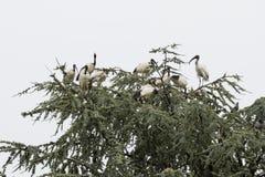 在树的神圣的朱鹭鸟 免版税库存图片