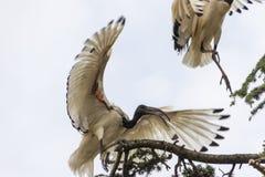 在树的神圣的朱鹭鸟 免版税库存照片