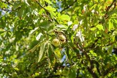 在树的秋天棘手的栗子吊 免版税库存照片