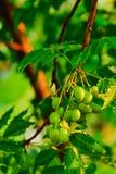 在树的种子 免版税库存图片