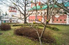 在树的第一绿色芽在Novodevichy女修道院 莫斯科 免版税库存照片