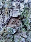 在树的简单的吠声 最了不起的雕刻家和艺术家是自然 库存图片