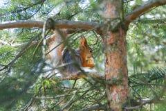 在树的红松鼠吃坚果的 免版税图库摄影