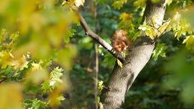 在树的红松鼠吃苹果的 股票视频