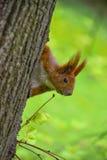 在树的红松鼠 库存图片