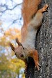 在树的红松鼠 免版税库存图片