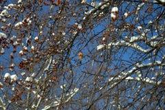 在树的红腹灰雀 免版税库存照片