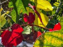 在树的红色叶子 11月在加利福尼亚,美国 库存图片