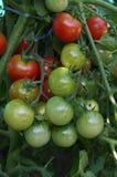 在树的红色和绿色西红柿 免版税库存图片