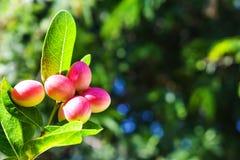 在树的红色奇迹果子与绿色叶子,隔绝有被弄脏的背景 免版税库存图片