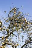 在树的红色成熟苹果 库存图片