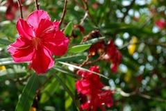 在树的红色木槿花 库存照片