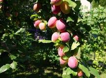 在树的红色李子 成熟李子分支在庭院里 免版税库存照片