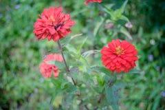 在树的红色百日菊属花 免版税图库摄影
