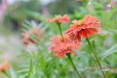 在树的红色百日菊属花 库存照片