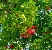 在树的红色石榴果子 免版税库存图片