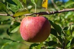 在树的红色美味苹果 免版税库存图片
