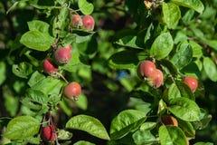 在树的红色苹果在果树园关闭 免版税图库摄影