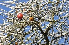 在树的红色苹果果子盖了雪 免版税库存图片
