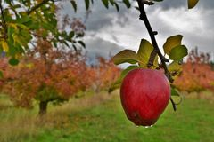 在树的红色苹果计算机在雨以后的一个果树园,雨下降仍然滴下od苹果 免版税库存图片