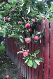 在树的红色苹果 免版税库存照片