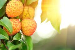 在树的红色荔枝果子 免版税库存图片