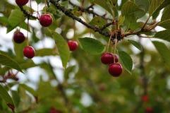 在树的红色酸的樱桃 免版税库存图片