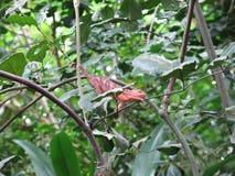 在树的红色鬣鳞蜥 免版税库存图片