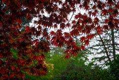 在树的红色鸡爪枫叶子 库存照片