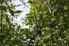 在树的绿色李子 免版税库存图片