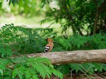 在树的绿色椰子新鲜的群与吮花蜜的蜂做蜂蜜在背景中 库存图片