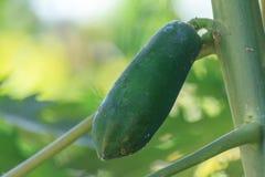 在树的绿色番木瓜 免版税库存图片