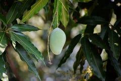在树的绿色芒果在庭院里 免版税库存图片