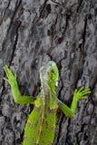 在树的绿色鬣鳞蜥 库存图片