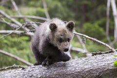 在树的缺乏信心的熊横穿腿 免版税库存图片